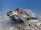Green turtle — Stock Photo