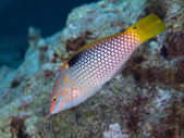 Chequerboard wrasse — Stock Photo