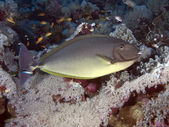 Sleek unicornfish — Stock Photo