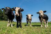 Bull's — Stockfoto