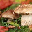 Mushrooms in the woods — Stock Photo