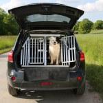 Hund im Auto — Stockfoto