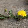 Concept strength dandelion — Stockfoto
