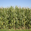 Corn field in autumn ready for harvest — Stock Photo