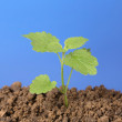 Small plant grows out of the dirt in a garden — Stock Photo
