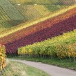 Path in vineyards during the wine grapes harvest — Stock Photo