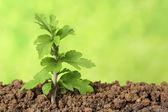 Small tree growing in the dirt — Stock Photo