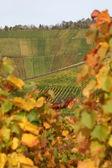 Vineyards and wine racks in autumn — Stock Photo
