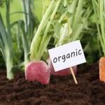 Healthy eating organic vegetables in garden — Stock Photo #48643071