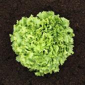 Ripe lettuce in vegetable garden from above — Stock Photo