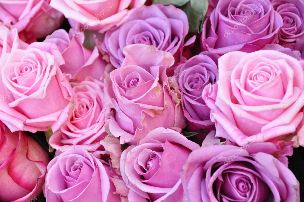 rosa rosen stock photo geronimo 4848744. Black Bedroom Furniture Sets. Home Design Ideas