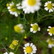 Daisy flowers blooming herbs in summer closeup — Stock Photo #12910836