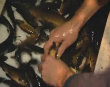 Fish tench. — Stockvideo