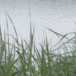 Sway reeds in the wind. ripple lake water in background. — Stock Video