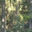 The descent from fir tops to the ground where are lot of ferns. — Video Stock