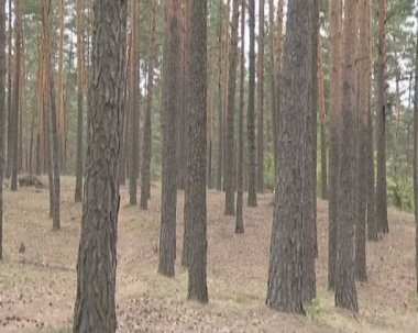 Pine forest. a lot of pines and their cone. — Stock Video
