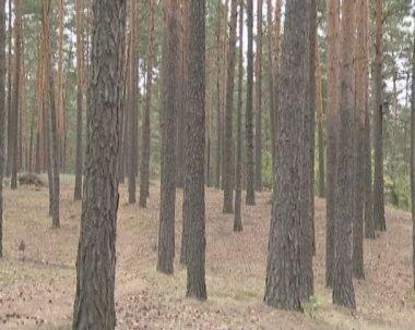 Bosque de pinos. un montón de pinos y su cono. — Vídeo de stock