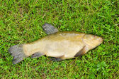 Lake fish tench with orange eye on green grass — Stock Photo