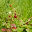 Ripe forest strawberries closeup. Natural food — Stock Photo #13400060