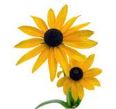 рудбекия блестящая цветок, изолированные на белом — Стоковое фото
