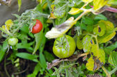 Green raw red ripe tomatoes greenhouse summer — Stock Photo