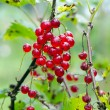 Red ripe currant berry hang on bush closeup — Stock Photo