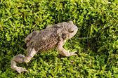 European toad on moss — Stock Photo