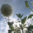 Stock Video: White dahliflowers and sun rays penetrating through them.