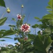 Stock Video: Red white color dahliflowers on background of blue cloudy sky.