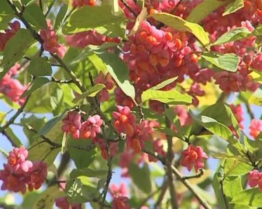 Branches of tree covered with red berries beams swinging in wind — Stock Video