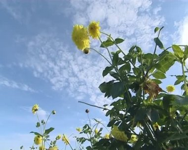 Yellow dahlia flowers on a background of blue cloudy sky. — Stock Video