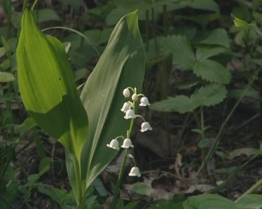 Lily of the valley - elegant flower with many small white bells. — Stock Video