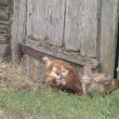 Hen looking for food to the old barn in the village. — Stock Video