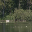 Stock Video: Old swwith babies swimming rippling lake shore. white lilies.