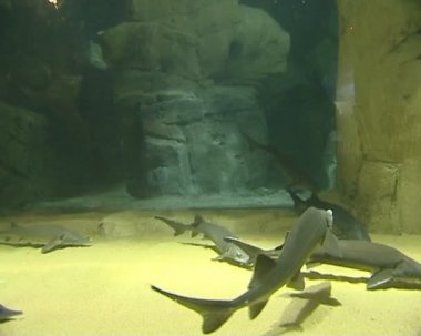 Sturgeon swimming in huge zoo aquariums. spectacular life. — Stockvideo