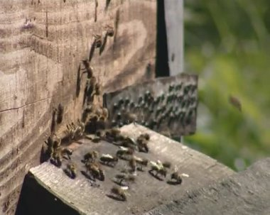 A lot of bees buzzing around a hive manhole. beekeeping. — Stock Video