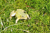 Green frog lithobates clamitans moss — Stock Photo