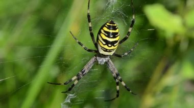 Wasp spider web wind — Stock Video