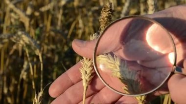 Wheat magnify glass close — Stock Video
