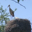 Stork with long legs sitting on the nest. stork family. — Stock Video