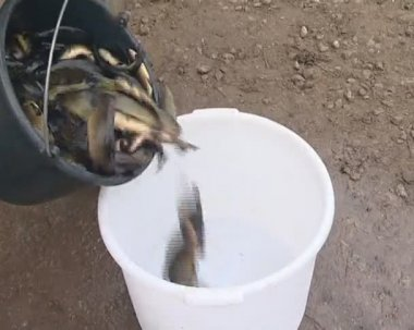 Bucket of tench fish weighed. fish breed industry. — Vídeo Stock
