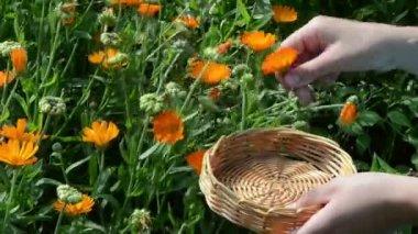 Marigold calendula bloom — Стоковое видео