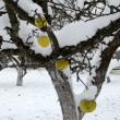 Apple fruit tree snow — Stock Video
