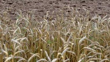 Ripe wheat plowed field — 图库视频影像