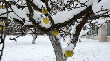 Apple fruit tree snow — Stock Video