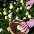 Woman collect apple fruit — Stock Video
