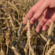 Stock Video: Wheat magnify tool close