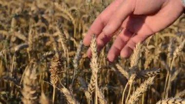 小麦拡大ツールを閉じる — ストックビデオ