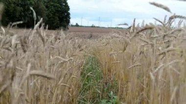 Ripe wheat plowed field — Stock Video
