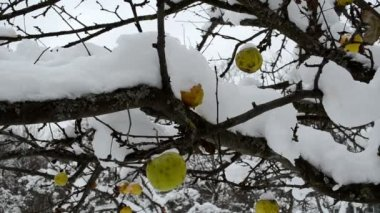 Apple fruit tree snow — ストックビデオ